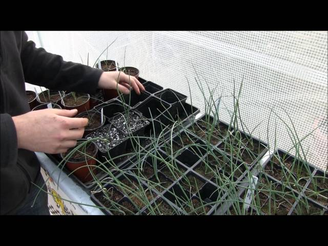 Onion Growing Tips From the Greenhouse