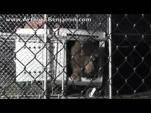 Arthur E. Benjamin Foundation Helps Rescue Guatemalan Lion and Find New Home at Alabama Sanctuary