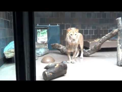 Watch!! Male African Lion Excited at Omaha Zoo