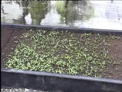 Kis kertész percek - Tavaszi hagymás virágok, magvak ültetése
