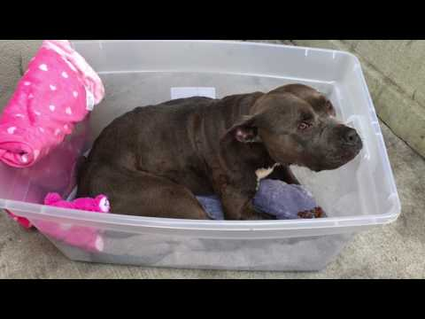 Amazing Pit Bull rescue just out of reach of high kill shelter NYC Animal Care and Control.