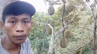 Cara mengikat #durian yang sulit dijangkau tangan