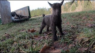 Bruce Wayne the baby goat kid is here