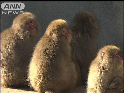 「北限のニホンザル」が上野動物園を逃げ出す(10/01/24)