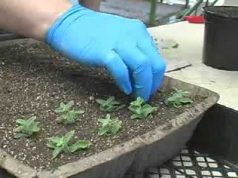 Propagating Plants from Cuttings