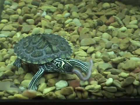 Turtle vs Goldfish... Goldfish Wins????