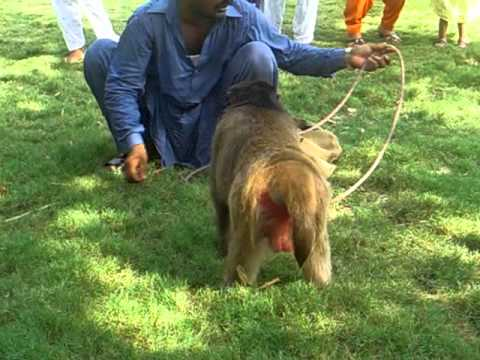 Very Funny & Smart Monkey Bandar Show In Punjabi Islamabad Pakistan