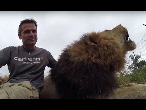 Interrupting Lion - Happy World Lion Day 10th August!