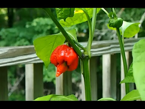 My Super Hot Pepper Garden. 2014