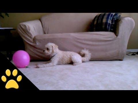 Ingenua reacción de un perrito al explotar un globo
