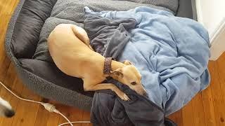 Dog lieing down