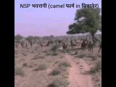 Marwadi Song Bejal Khan With Camels Farm In Bikane video