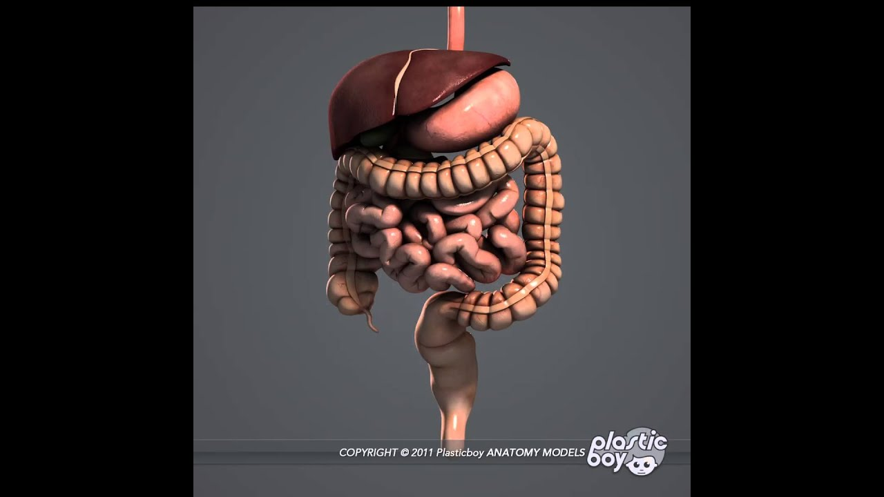 Digestive System 3d Model Pack  Fully Textured  -  Plasticboy Co Uk  Store