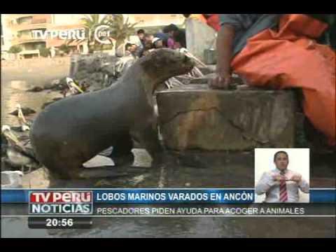 Lobos marinos están varados en Ancón