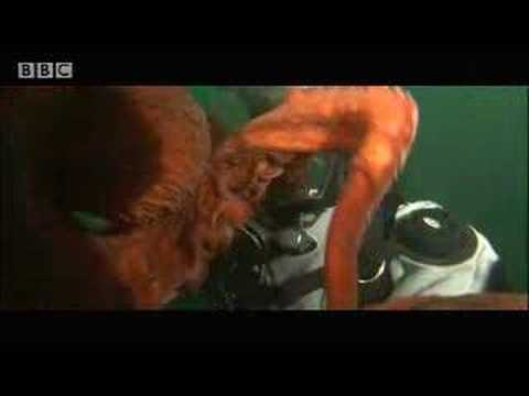 Wow! Giant octopus - extreme animals - BBC wildlife Video