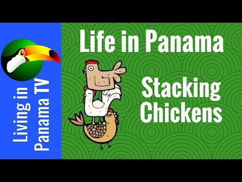 raising chickens panama