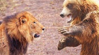 Lion vs Bear Fight, Bear Face Off