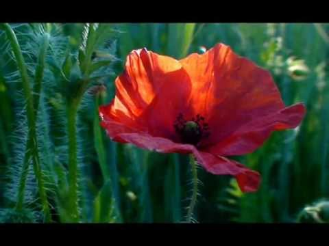 Polskie Kwiaty... Z Pól I łąk...