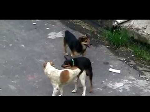 GAYS DOGS ( CACHORROS BAITOLAS ) Video Premiado no Festival de Cannes kkkkkk