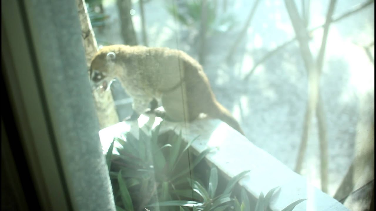 Coati Mexican Raccoon Outside Our Emerald Suite Window