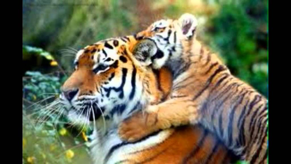 Tiger bilder youtube - Show me a picture of the tiger ...