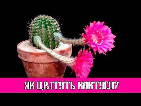 🌺 Как цветут кактусы? 🌵   Невероятная съемка Timelapse