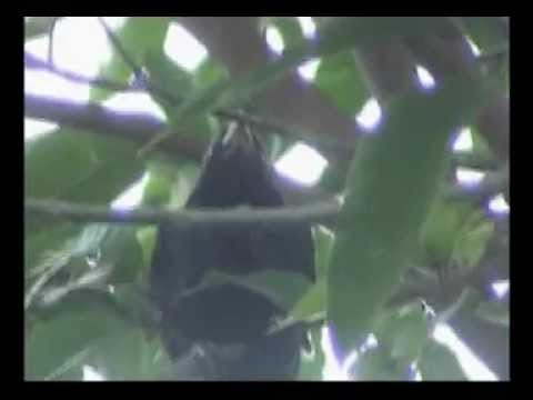Asean Koel And Drongo, Avissawella, Sri Lanka video