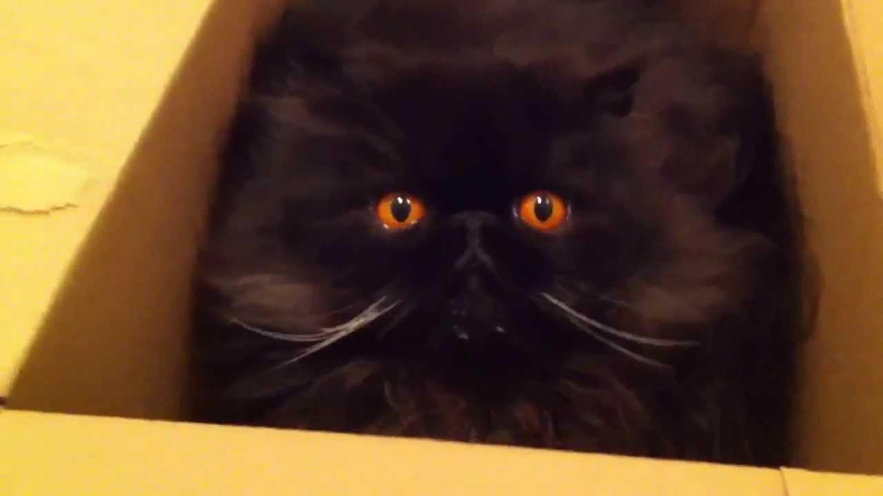 Cute Black Persian Cats Sammy The Black Persian Cat in