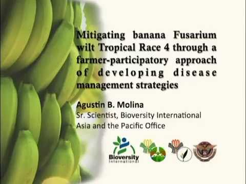 GCTCV 219 banana variety in the Philippines [Part 2/2]