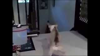 Thug Life Cat Chases Dog