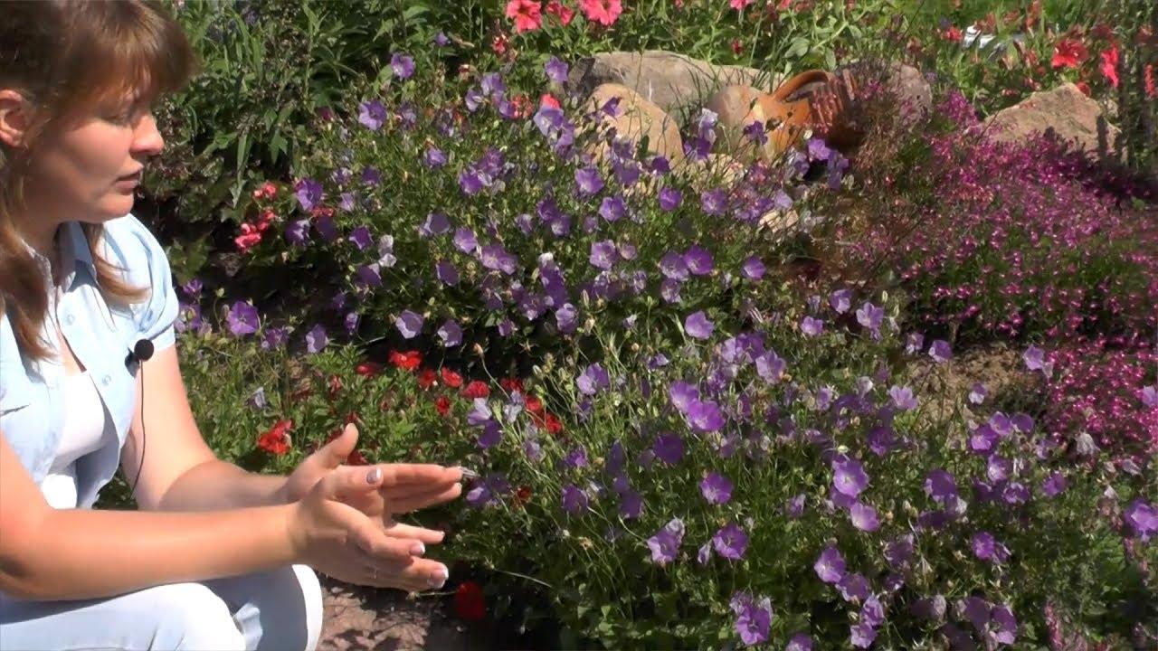 Колокольчик карпатский выращивание из семян в домашних