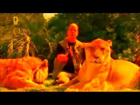 Самая крупная кошка в мире это Лигр. The largest cat in the world is a liger