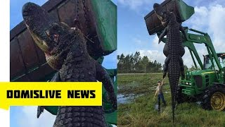 GIANT Alligator Found in Florida 800 POUNDS, 15 FOOT Monster