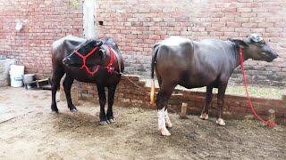 Nilli Ravi breed & Murrah female's (Sale)👍👌8727097095