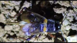 JANGKRIK (crickets)