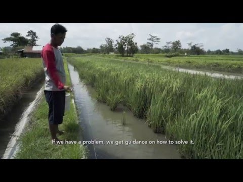 Indonesia Rice-Fish Farming
