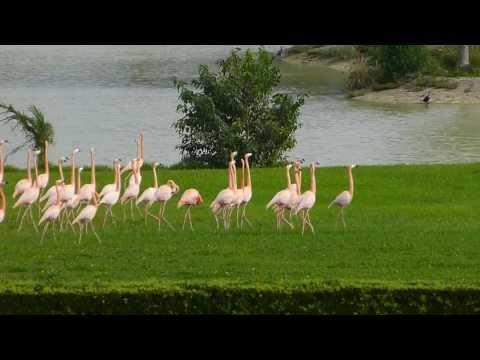 Vuelo de Flamingos en Hialeah Park