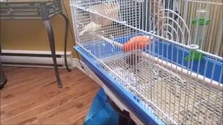 Meet my new Pet Canaries!