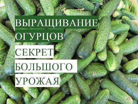 Важно знать!  Выращивание Огурцов. В Чем Залог Успеха. (20.05.17)
