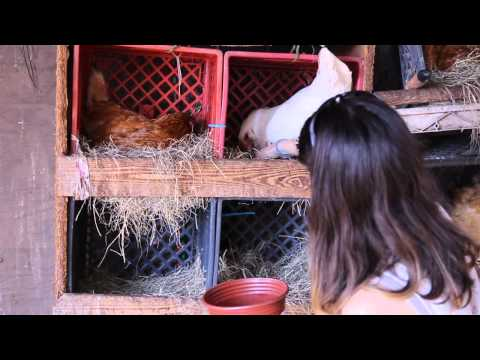 How To Raise Chickens - The Benefits of Free-Range Eggs!