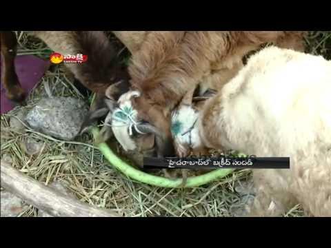 Hyderabad Bakrid Celebrations - High demand for goats ahead of Bakrid
