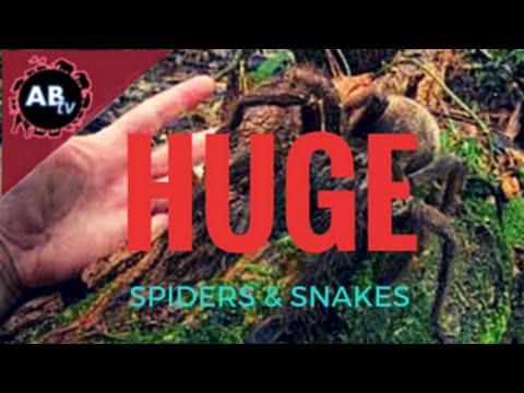 Huge Spider and Huge Snakes! Corey Wild : AnimalBytesTV