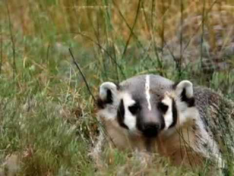 Badger Pups  Play Ac (adult Content) video