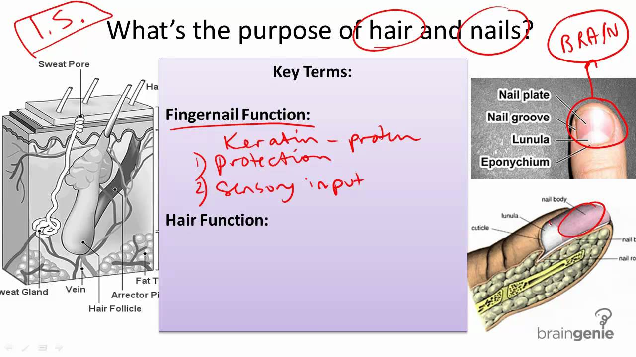 891 Nail And Hair Structure And Function YouTube