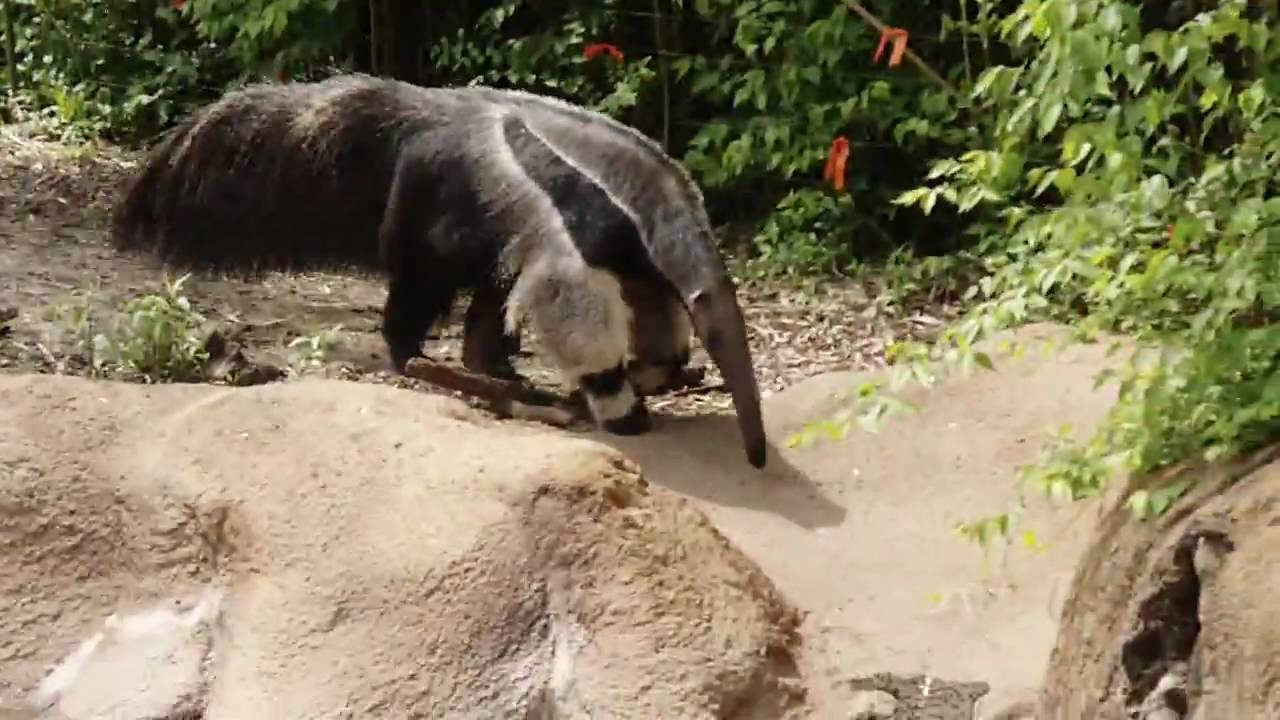 Giant anteater attack