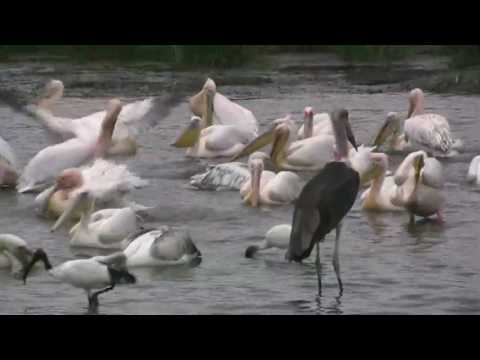 Waterbirds on Lake Nakuru