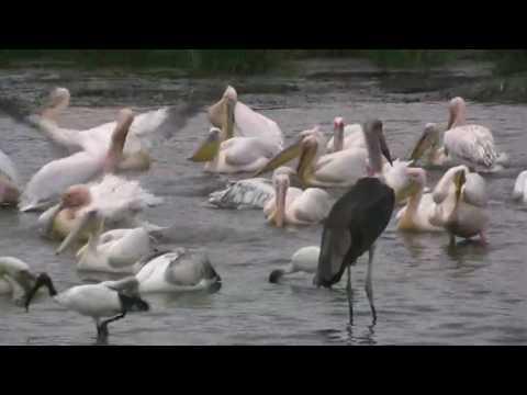 Waterbirds on Lake Nakuru