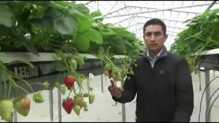 Comparación en el desarrollo de frutos de fresas hidropónicas, bajo túnel y un techo retráctil autom
