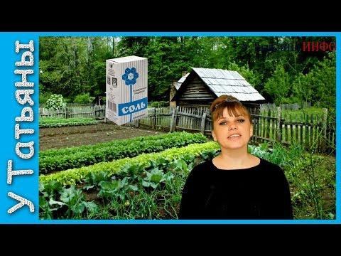 Применение соли в огороде (от фитофторы, луковой мухи)