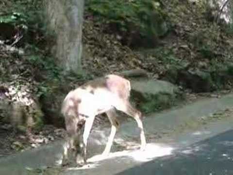 Mammoth Cave National Park Deer Video